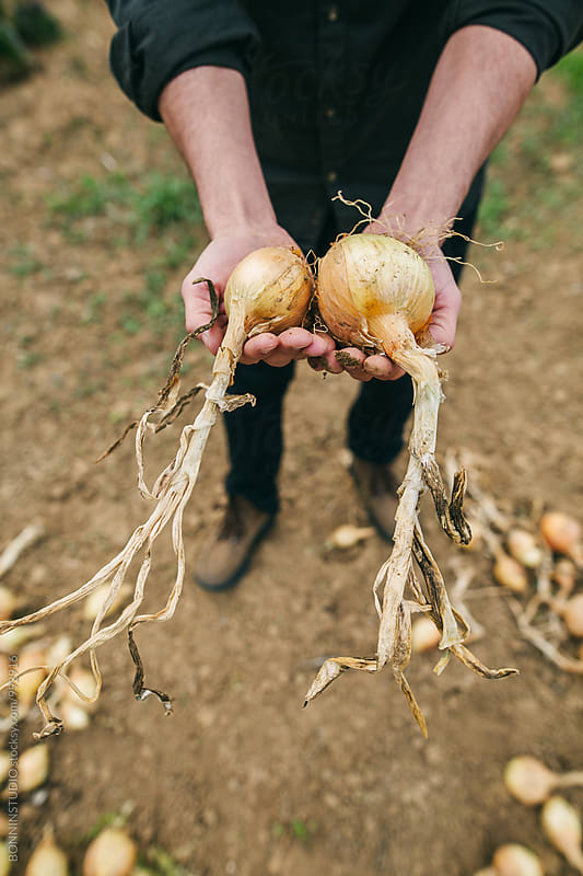 Closeup of a farmer holding ecological onions in his hands.  by BONNINSTUDIO for Stocksy United