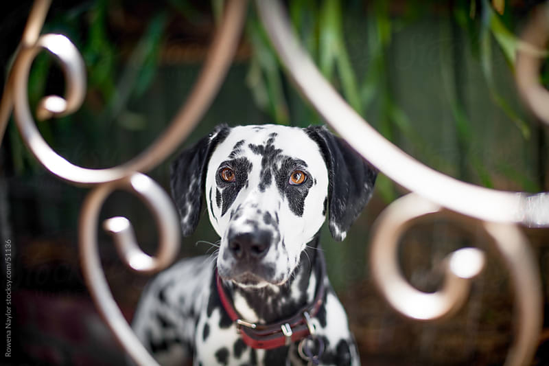 Dalmation Dog Behind gate looking into camera by Rowena Naylor for Stocksy United