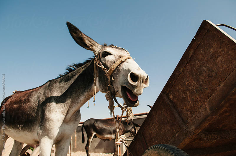 Donkey for sale, Animal Market, Kashgar, China. by Thomas Pickard for Stocksy United