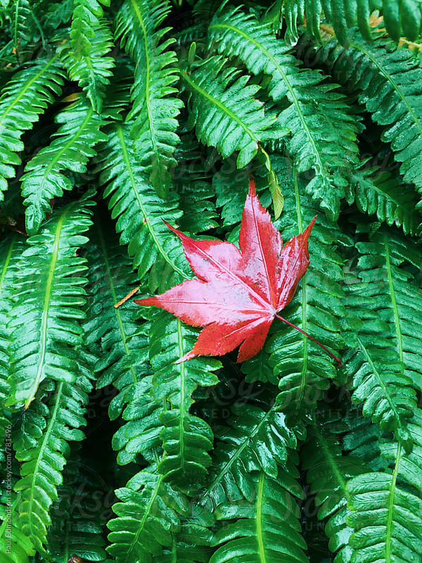 Japanese maple leaf on wet, green ferns in autumn by Paul Edmondson for Stocksy United