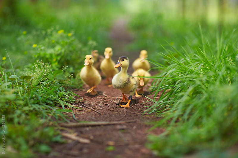 yellow duckling outdoor by Bo Bo for Stocksy United