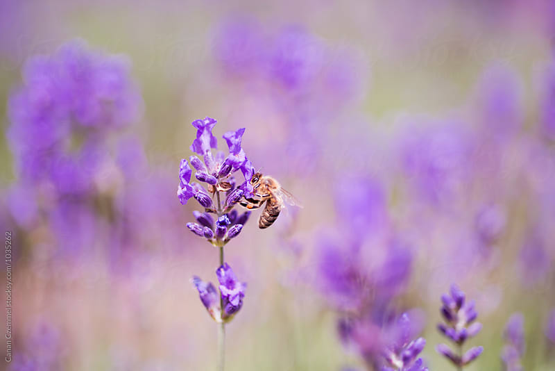 bee on lavender flowers by Canan Czemmel for Stocksy United