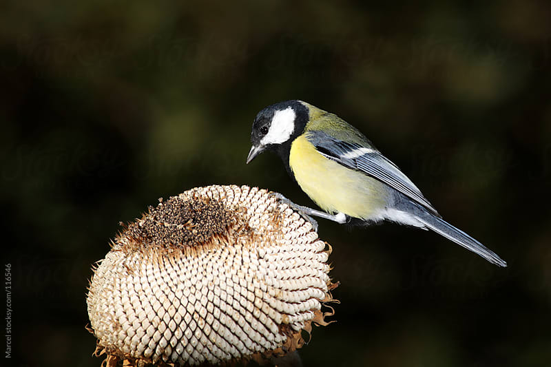 Great tit bird on sunflower head. by Marcel for Stocksy United