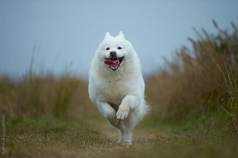 one Samoyed running outdoor by Bo Bo for Stocksy United