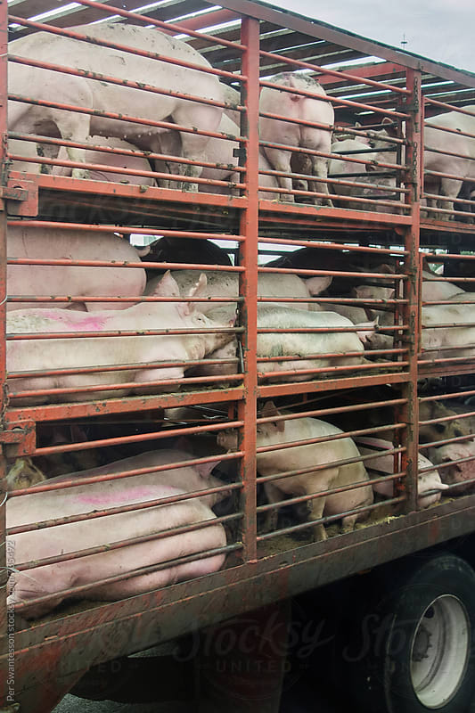 Transportation of pigs for slaughter by Per Swantesson for Stocksy United