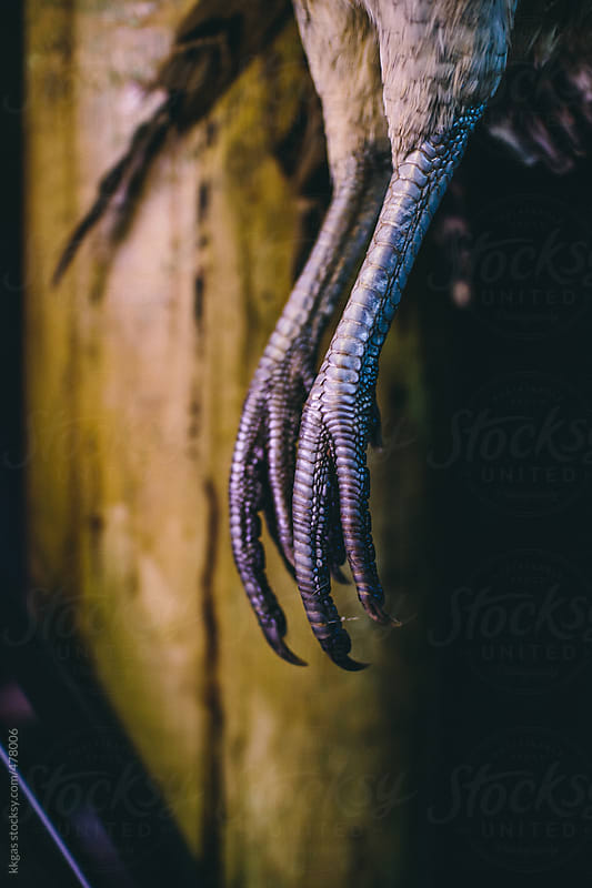 Pheasant feet  by kkgas for Stocksy United