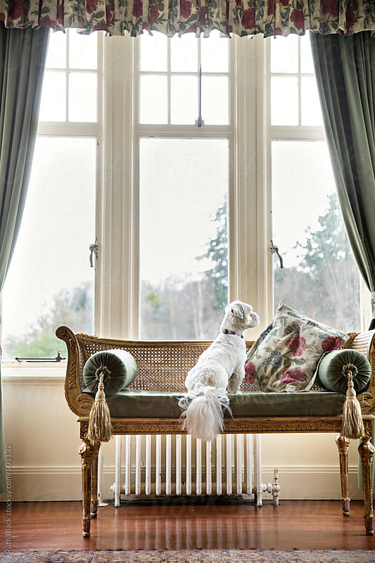 Lhasa apso looking out the window by Ruth Black for Stocksy United