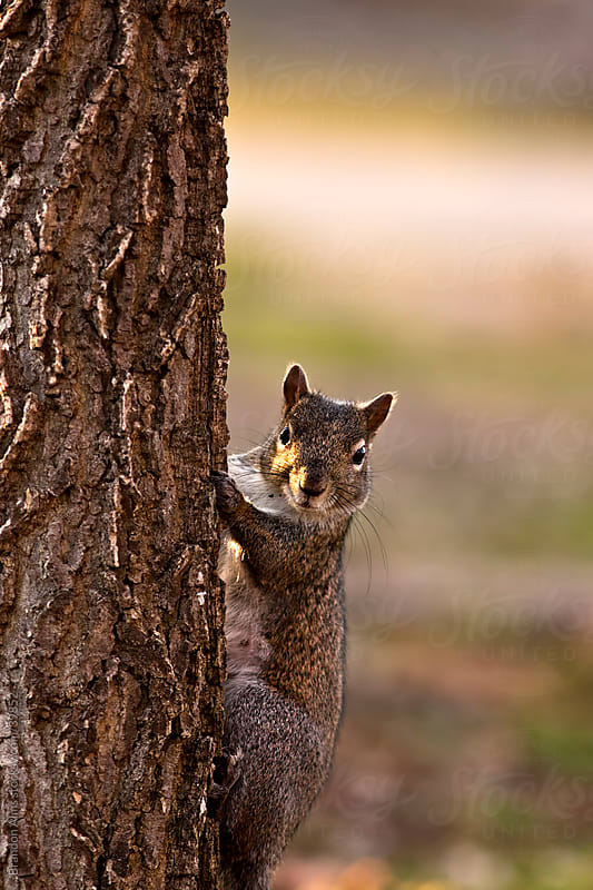 Curious Gray Squirrel Looks out From a Tree by Brandon Alms for Stocksy United
