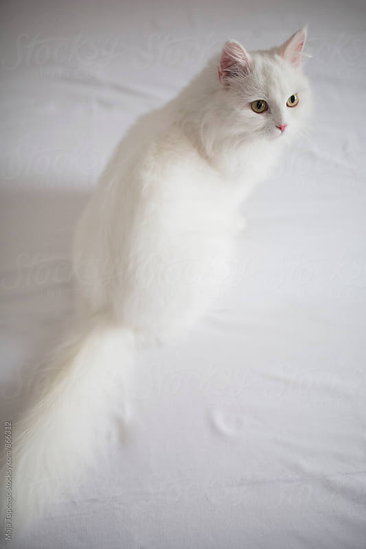 Beautiful little persian cat by Maja Topcagic for Stocksy United