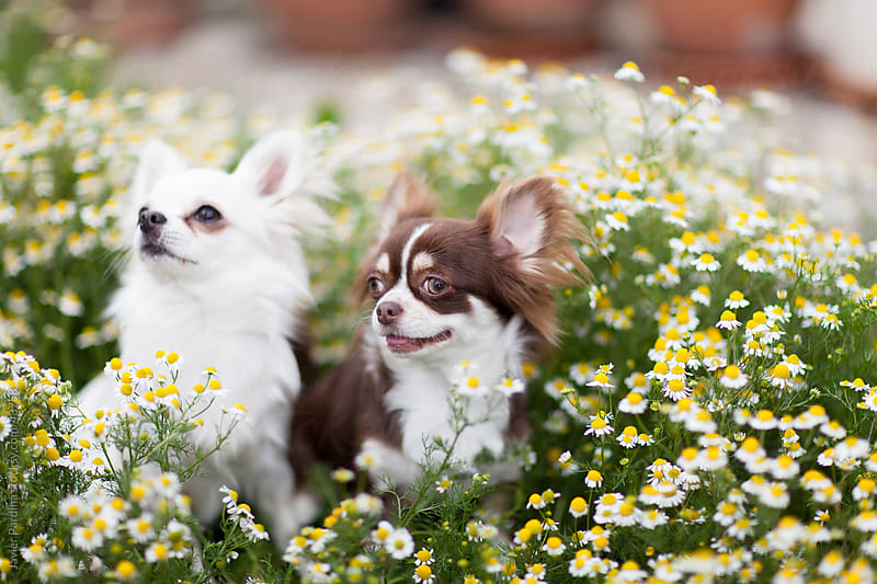 the chihuahua surrounded by flowers in springtime
