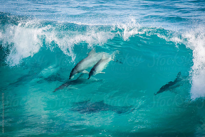 Dolphins in a wave. South Australia. by John White for Stocksy United