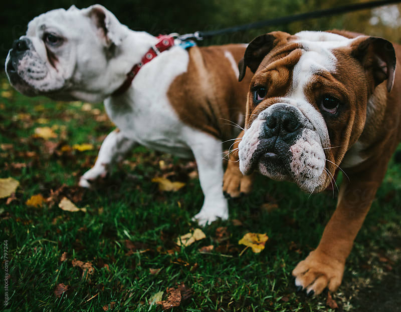 Two English bulldog walking in the park . by kkgas for Stocksy United