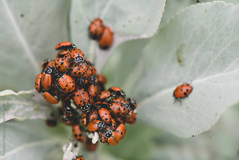 cluster of lady bugs by Courtney Rust for Stocksy United