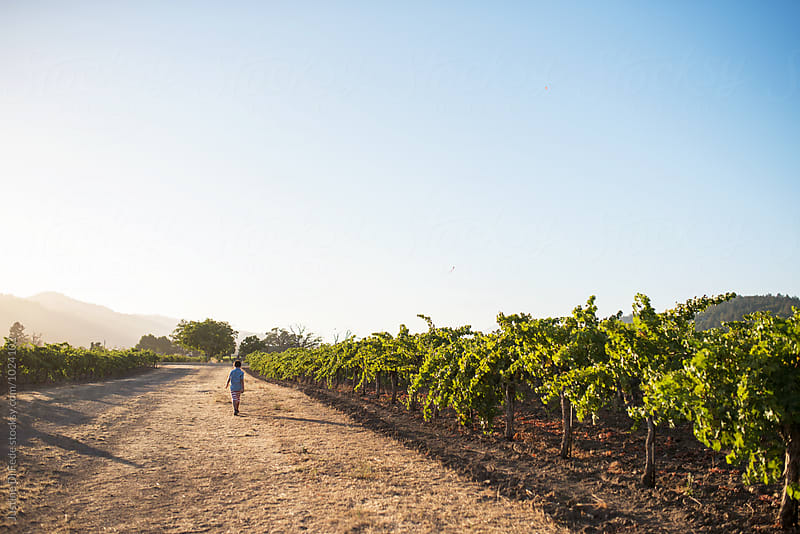 Summer Vineyard by Justine Di Fede for Stocksy United
