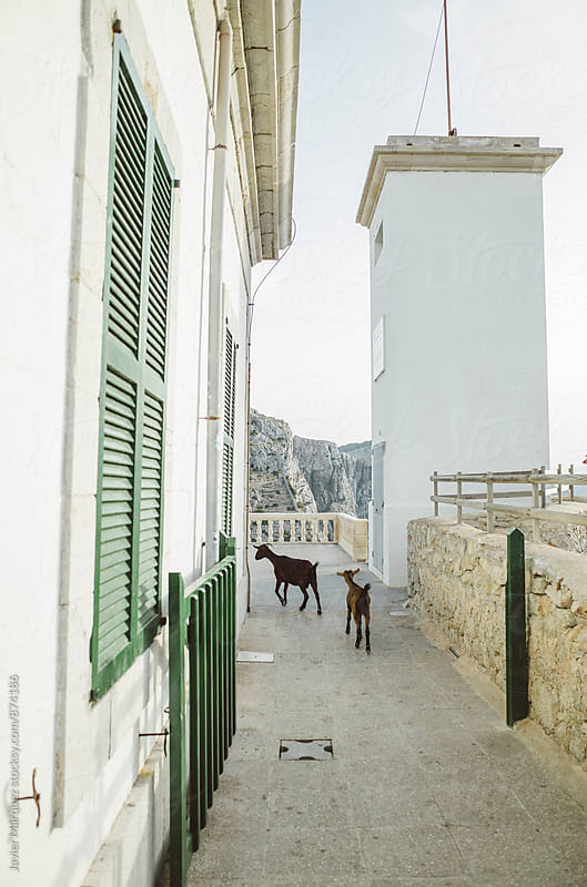 Two goats on a leash by Javier Marquez for Stocksy United