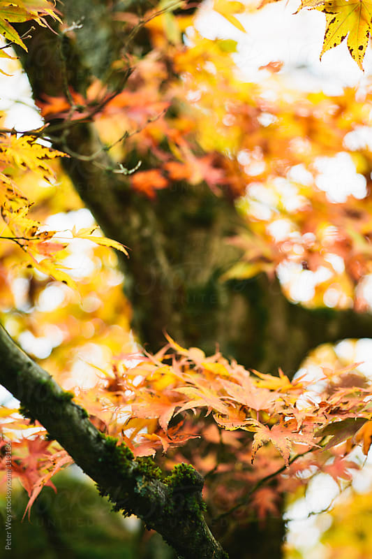 autumn tree by Peter Wey for Stocksy United