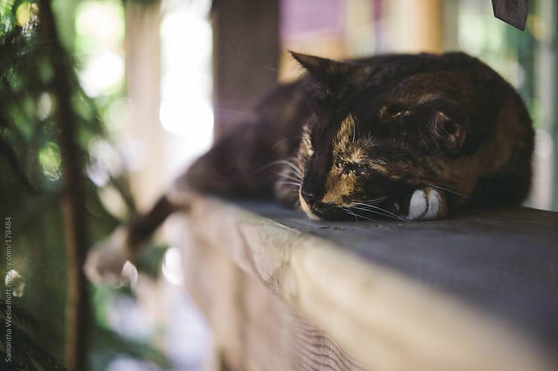 sleepy calico cat by Samantha Wesselhoft for Stocksy United