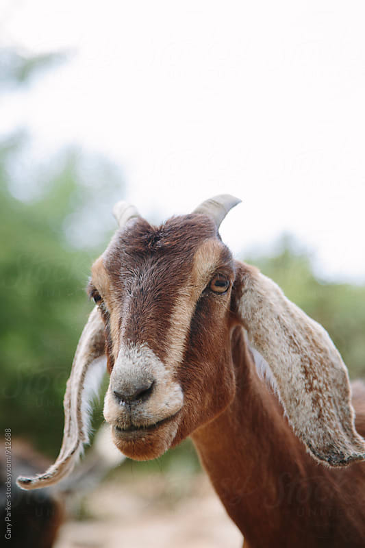 Portrait of a goat by Gary Parker for Stocksy United
