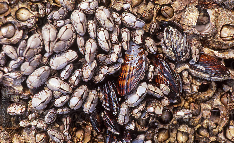 closeup macro of mussels and barnacles on rocks along coast of Oregon Pacific ocean shoreline by Ron Mellott for Stocksy United