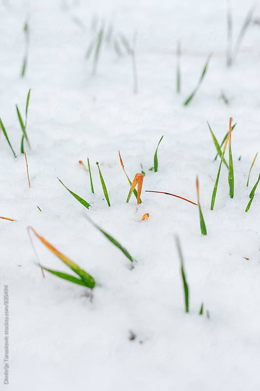 Green grass in the snow by Dimitrije Tanaskovic for Stocksy United