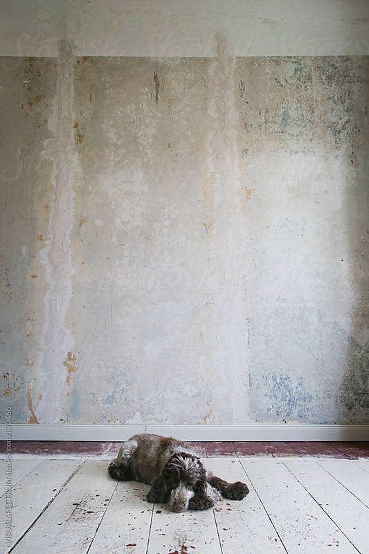 Cocker Spaniel Lying on White Shabby Floorboards by Julien L. Balmer for Stocksy United