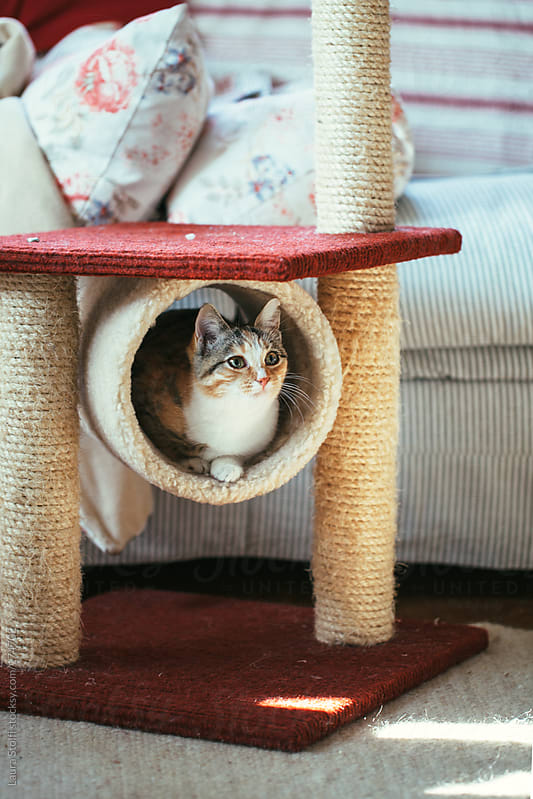 Cat laying inside a tunnel of her scratching post by Laura Stolfi for Stocksy United