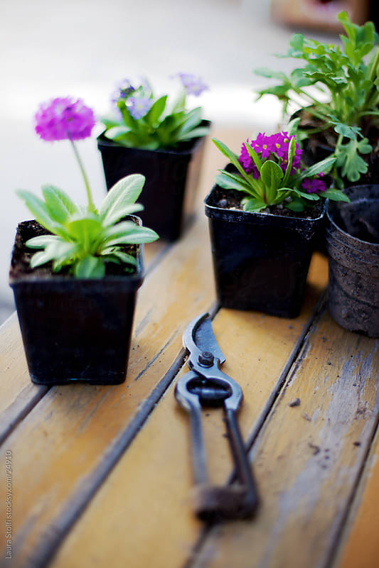 Garden scissors and flowers on a table while potting flowers by Laura Stolfi for Stocksy United