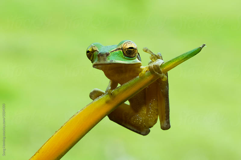 Portrait of  tree frog putting up a finger by Song Heming for Stocksy United