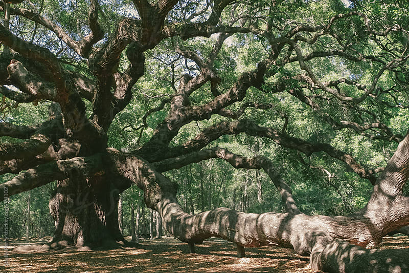 Angel Oak near Charleston by Shelly Perry for Stocksy United