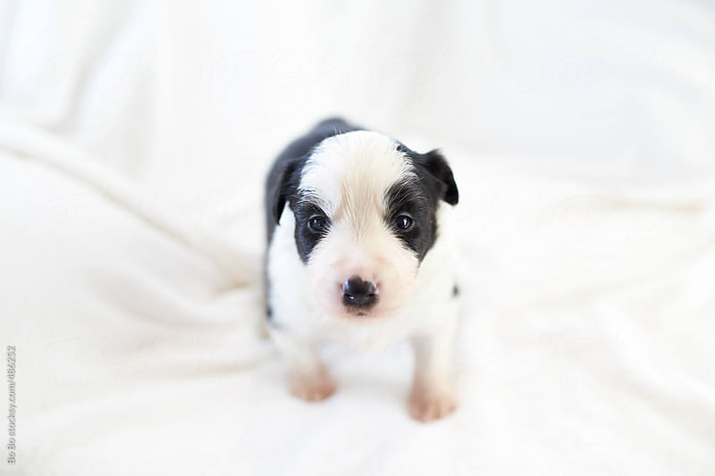 lovely puppy indoor by Bo Bo for Stocksy United
