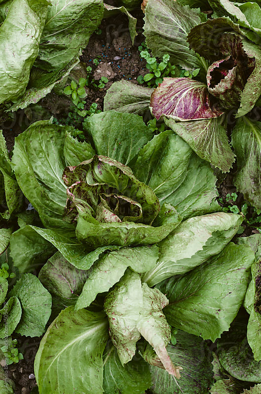 Vegetable garden lettuce from above by Alessio Bogani for Stocksy United