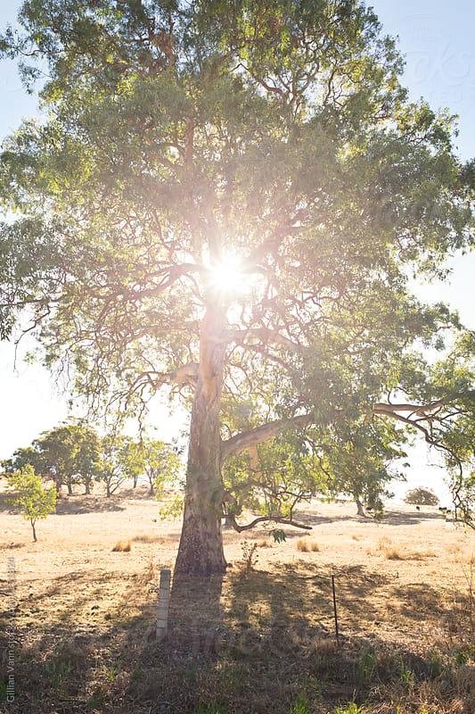 backlit gum tree by Gillian Vann for Stocksy United