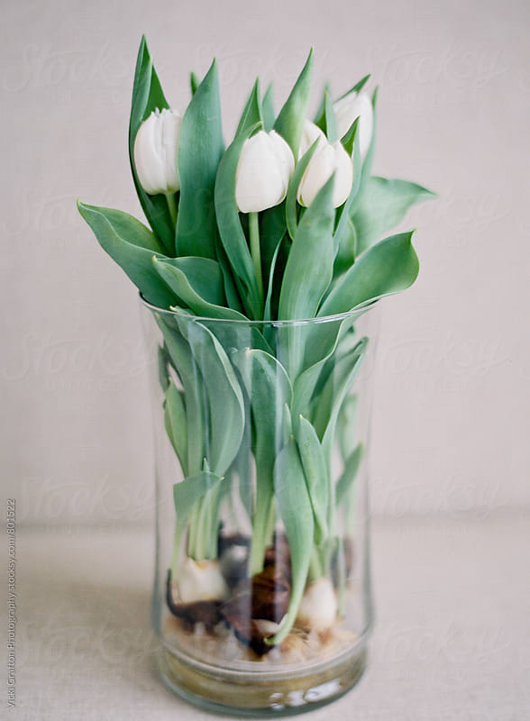 White tulips in glass vase by Vicki Grafton Photography for Stocksy United