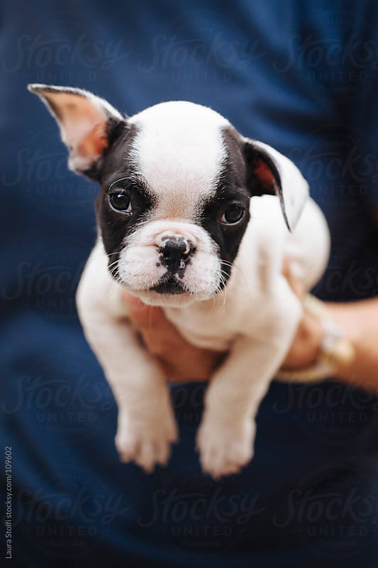 Woman holding in her arms French Bulldog puppy dog looking straight at the camera by Laura Stolfi for Stocksy United