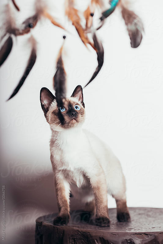 Beautiful siamese kitten by Maja Topcagic for Stocksy United