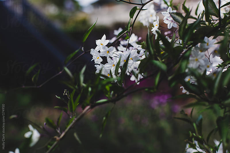 White blooms in spring in a garden at dusk. by Holly Clark for Stocksy United