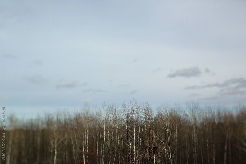 A Forest Of Birch Trees On An Autumn Day by ALICIA BOCK for Stocksy United