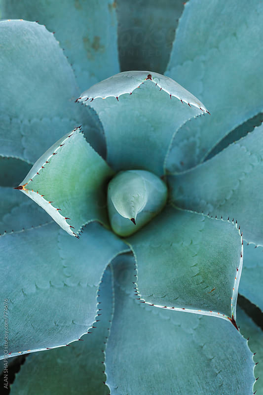 Succulent plant from above by ALAN SHAPIRO for Stocksy United