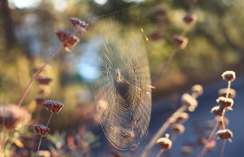 Spider web in the morning light by Carolyn Lagattuta for Stocksy United