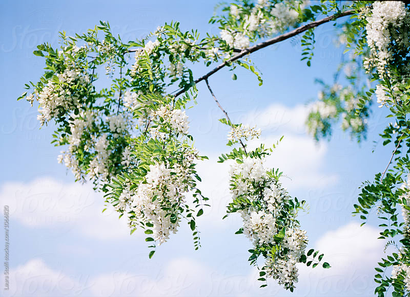 False Acacia flowers on the plant with pale blue sky on background by Laura Stolfi for Stocksy United