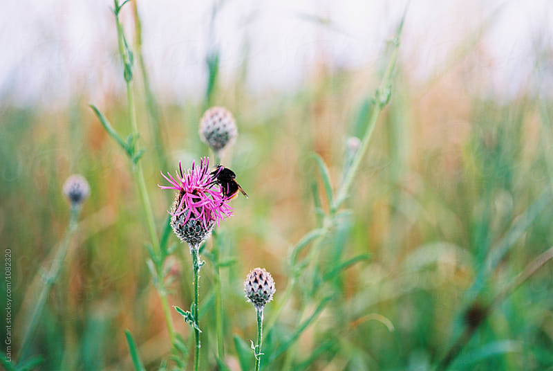 Bumble bee on Greater Knapweed flower. Norfolk, UK. by Liam Grant for Stocksy United