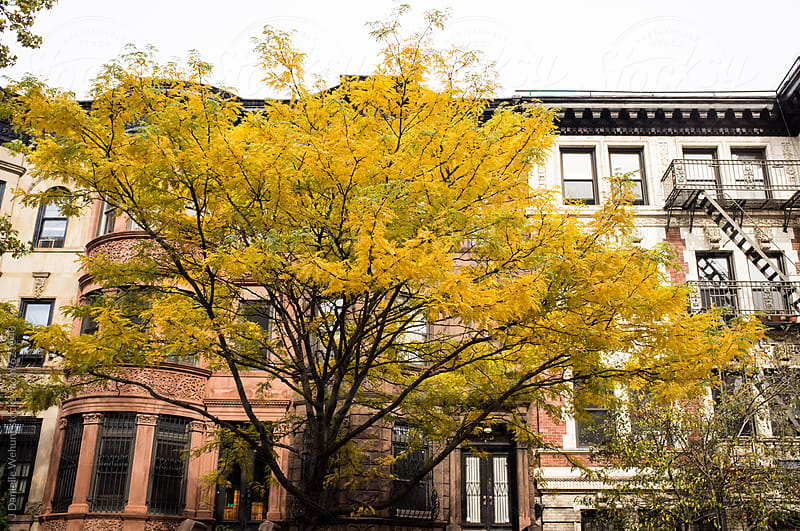 A bright yellow leave tree in the fall in front of Brownstone houses in Brooklyn, New York. by J Danielle Wehunt for Stocksy United