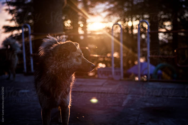 Mixed race dog at sunset by Lior + Lone for Stocksy United