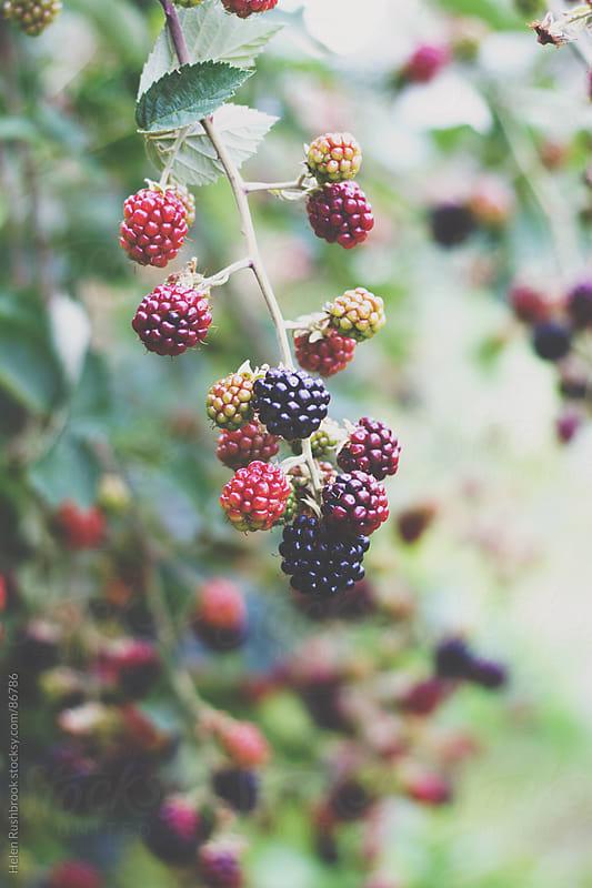 Blackberries ripening on a bush by Helen Rushbrook for Stocksy United
