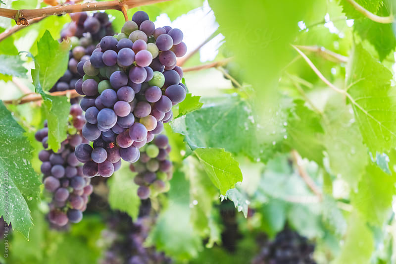 Sangiovese Grapes Hanging from the Vine, Tuscan Winery by Giorgio Magini for Stocksy United