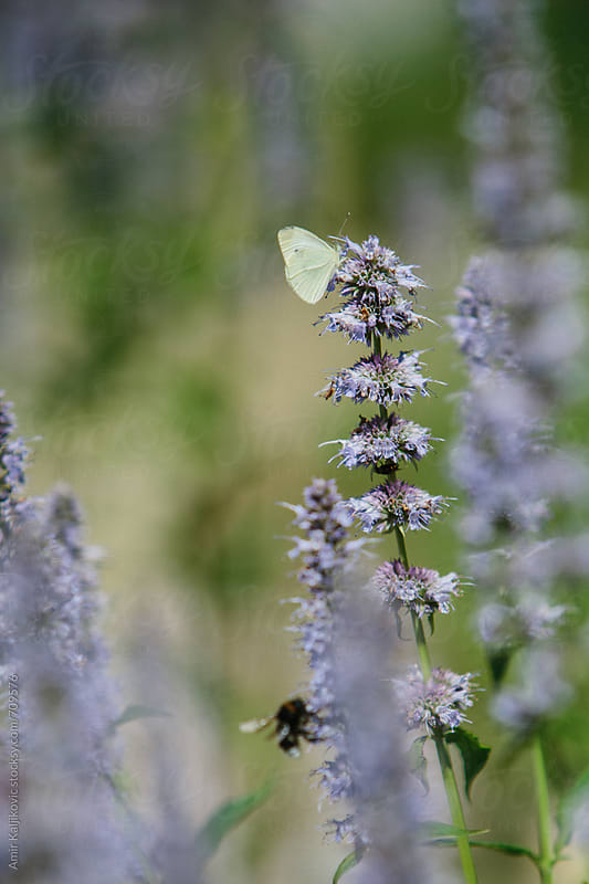 Small Butterfly on Lavender Flower at the Garden by Amir Kaljikovic for Stocksy United