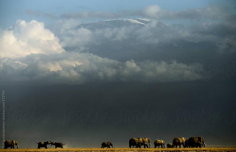 elephant walking by Kilimanjaro  by Nat sumanatemeya for Stocksy United