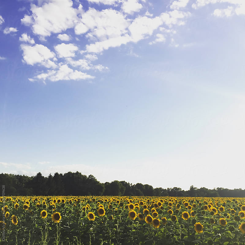 A sunflower field by Chelsea Victoria for Stocksy United