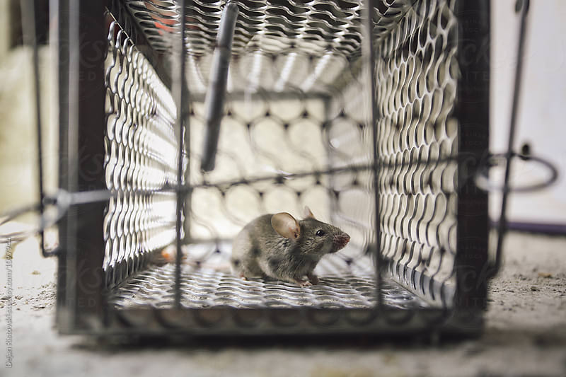 Mice cough in iron cage. by Dejan Ristovski for Stocksy United