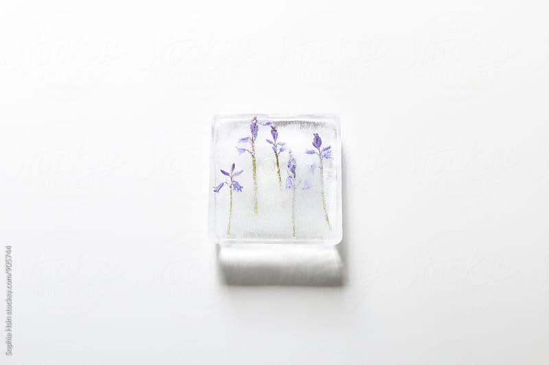 Frozen bluebells by Sophia Hsin for Stocksy United